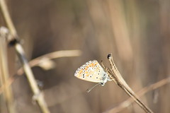 Lycaenidae (esta_ahi) Tags: santmartísarroca mariposa papallona butterfly lycaenidae lepidoptera insectos fauna penedès barcelona españa spain испания