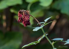 Puis qu'une telle fleur ne dure... (Tormod Dalen) Tags: pentaxart smcpentax13525 garden flower autumn fall autumnleaves vintageglass pentax smc 135mm