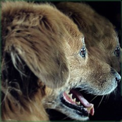 Reflection (Aunti J) Tags: goldenmix companion dog rescue adopt seniordog love old browndog reflect reflection golden retriever animal