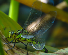 Closeup Dragon (JKmedia) Tags: southern hawker dragonfly nature wildlife devon chudleigh pond autumn october 2018 boultonphotography sonyrx10iii wings translucent split leaf laying sunlit blue green yellow brown