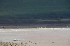 2017-11-09_1022_DSC_0823 (becklectic) Tags: 2017 altiplano atacamadesert birds chile flamingoes lagunamiñiques4120m13520ft piedrasrojastour regióndeantofagasta reservanacionallosflamencos sanpedrodeatacama flamingo flamingos