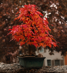 bonsai (Studio Hors-champ) Tags: leaf flower blooming spring hydrangea blossom springtime branch shrub ivy garden bonsai acer tree plant flowers red beautiful beauty natural flora leaves color manosque