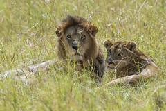 Big Cats on the Mara (johnrobjones) Tags: beyond animal animals cnp cnpsafaris kenya kichwatemba mara masai masaimara safari africa mammals nature wildlife lion lioness male female