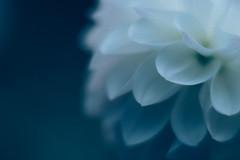 petals (N.sino) Tags: xt1 planar85mm dahila petal blue night midnightblue ダリア 花びら 青い夕べ