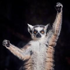 the winner (rondoudou87) Tags: lemur lemurien lémuriens nature natur rondoudou87 pentax parc park parcdureynou zoo reynou wildlife wild smcpda300mmf40edifsdm sauvage portrait regard eyes yeux winner gagnant