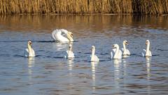 Mute Swans (marra121) Tags: siddick ponds cumbria birds water branches trees kingfisher kestrel great tit mute swan geese golden eye little grade cormorant goosanders flying flight