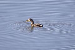 Little Grebe (marra121) Tags: siddick ponds cumbria birds water branches trees kingfisher kestrel great tit mute swan geese golden eye little grade cormorant goosanders flying flight