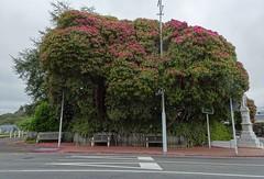 Inglewood Taranaki. A huge Sir Robert Peel rhododendron beside the town War Memorial. (denisbin) Tags: moubntruapehu volcano activevolcano inglewood taranaki bank rhododendron warmemorial sirrobertpeel