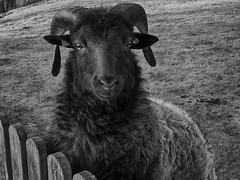 Black Friday Sheep (BeMo52) Tags: fauna germangreyheath heath heide heidschnucke natur nature norischeskurzschwanzschaf northerneuropeanshorttailedsheep