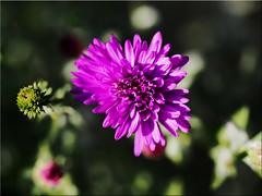 Autumn beauty (Ostseetroll) Tags: deu deutschland geo:lat=5403895481 geo:lon=1068918559 geotagged pönitzamsee scharbeutz schleswigholstein herbst autumn blume flower makroaufnahme macroshot olympus em10markii aster herbstaster