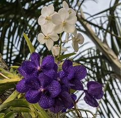 Vandas In A Tree (ACEZandEIGHTZ) Tags: orchids flowers purple white vandas nikon d3200 coth alittlebeauty coth5 sunrays5