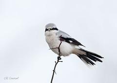 Northern Shrike (CR Courson) Tags: shrike northernshrike birds birdphotography nikon naturephotography nature crcourson chuckcourson