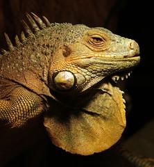 groene leguaan Ouwehands 094A0729 (j.a.kok) Tags: reptiel reptile leguaan groeneleguaan ouwehands dier animal