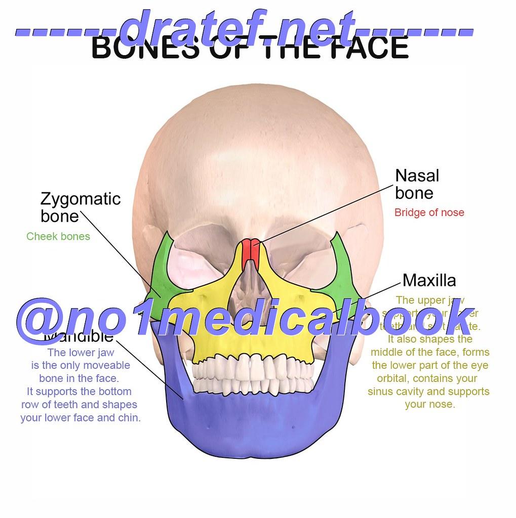 surgical-anatomy-of-zygomatic-bone-face-bones-facial-