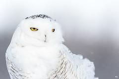 ''Souvenir!'' Harfand des neiges-Snowy owl (pascaleforest) Tags: oiseau bird animal passion nikon nature owl hibou snow neige white blanc wild wildlife faune québec canada