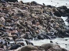 P1096536 (carlo) Tags: namibia africa panasonic g9 dmcg9 skeletoncoast coast atlanticcoast capecross cabodacruz seal seals otarie foche