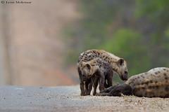 Hyena family (leendert3) Tags: leonmolenaar southafrica krugernationalpark wildlife nature mammals hyena ngc npc coth5
