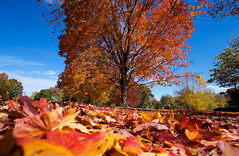 Naturally (KC Mike Day) Tags: fall autumn falling leaves leaf kcmo park loose tree red low ground