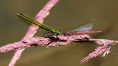 Beautiful Demoisell - Large Red Damselfly (jaytee27) Tags: beautifuldemoisellfemale largereddamselfly kneppestatesussex naturethroughthelens