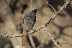 Colirrojo tizón macho (Phoenicurus ochruros) (jsnchezyage) Tags: colirrojotizón phoenicurusochruros ave pájaro bird birding birdwatching ornithology beak feather blackredstart