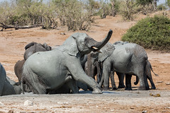 Elephants (Thomas Retterath) Tags: thomasretterath nature natur 2018 safari nopeople fluss chobe botswana africa afrika river wildlife rüssel trunk stoszähne loxodontaafricana bigfive africanelephant elefant elephantidae pflanzenfresser herbivore säugetier mammals animals tiere tusks