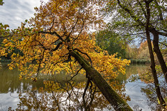 Schräge Eiche am Dechsendorfer Weiher 1188 (Peter Goll thx for +12.000.000 views) Tags: 2018 autumn natur herbst dechsendorf nature erlangen bayern deutschland de dechsendorferweiher oak eiche fall refelction spiegelung pond lake tree golden farben colors colours nikon nikkor 28300mm