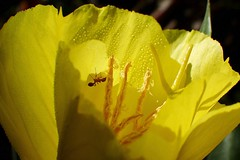 Œnothère (libra1054) Tags: œnothère enagracomune eveningprimrose onagra oenothera nachtkerze blumen fleurs flores fiori flowers flors flora jaune amarillo gelb yellow giallo amarelo groc macro nature outdoor