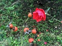 L'autunno della rosa (giorgiorodano46) Tags: novembre2018 november 2018 giorgiorodano iphone rosa flower red rouge pavia castellovisconteo parco italy autunno autumn