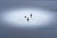 A Triangle (rayduckworth) Tags: ducks lake derwentwater lakedistrict