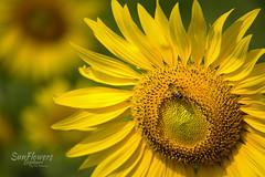 Lopburi Sunflower (nat_panviroj) Tags: