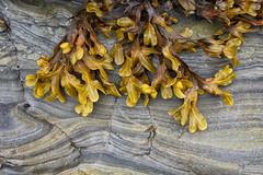 Weed (Rhubus) Tags: coastal tidal seaweed stone rock lines pretty alive layers grey brown northumberland