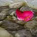One Single Petal - On Ice [explored] (Peter Branger) Tags: smileonsaturday onesinglepetal petal flower ice frozen water rocks canoneosr canonef24105mmf4lisusm