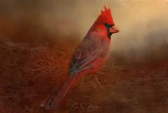 Cardinal (Lisa S. Baker) Tags: cardinal bird wildlife arizona lisasbaker lisabaker bakerbackyardphotography desert outdoors red feathers photography artwork