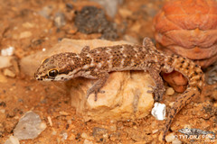 Western Cape Gecko - Pachydactylus labialis (Tyrone Ping) Tags: western cape gecko pachydactylus labialis cute macro close up wild life northern namaqualand tyroneping wwwtyronepingcoza 100mmmacrof28 f28 lizards herps herping creature critter africa african southern closeup canon 5dmiii travel nature natural texture rock amzing