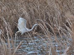 Great egret (Ardea alba, ダイサギ) (Greg Peterson in Japan) Tags: birds ono 野鳥 栗東市 ritto japan shiga ダイサギ egretsandherons wildlife 滋賀県 shigaprefecture