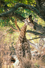 Tongue's Out! (thisbrokenwheel) Tags: africa lowersabie safari mammal sabieriver wildernesspreserve krugerpark wildlifephotography wildlife travel nature southafrica giraffe knp conservation sanparks reticulatedgiraffe