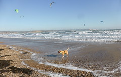 Reba at the Beach (andreboeni) Tags: reba boxer dog chien hund perros dogs chiens hunden sea weymouth beach kite surfing surf surfer bay waves