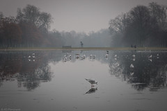Stare confusion in the face (Through_Urizen) Tags: animalsbirdsinsects birds category england kensingtongardens london places ice icy pond icywater frozen winter fog cold trees park citypark water bird seagull statue season canon1585mm canon70d canon outdoor