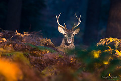 Apparition Ensoleillée (Franck Sebert) Tags: cerfs cerf elaphe cervus elaphus red deer sauvage brame novembre 2018 wild wildlife affut proximité ef 400mm l is canon manual focus animal paysage mammifère cervidae cervidés cervidé 5d3 5d mark 3 eos nature