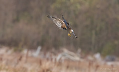 Female Northern Harrier (chuck.mell) Tags: northernharrier seow winter2019