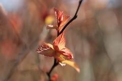 Douceur safranée (Callie-02) Tags: enflammée jardin extérieur macrographie macro profondeurdechamp canon détails lumière couleurs jaune orange printemps nature branche plante feuille