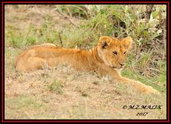 YOUNG LION CUB (Panthera leo)....MASAI MARA.....SEPT 2017 (M Z Malik) Tags: nikon d3x 200400mm14afs kenya africa safari wildlife masaimara keekoroklodge exoticafricanwildlife exoticafricancats flickrbigcats leo lioncubs exoticcats ngc
