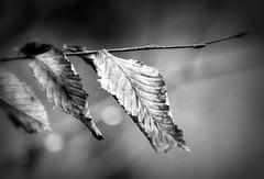 _still hanging on (SpitMcGee) Tags: blätter leave buche beech thelast dieletzten hängen hangingon wald forest blackwhite schwarzweis hmbt bokeh spitmcgee