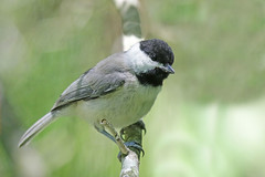 Carolina Chickadee (Alan Gutsell) Tags: carolina chickadee carolinachickadee texasbirds alan wildlife nature edithlmoorenaturesanctuary wildlifephoto canon camera
