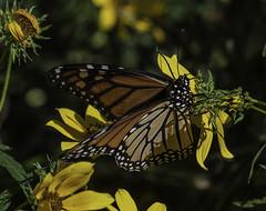 MonarchButterfly_SAF7555 (sara97) Tags: danausplexippus butterfly copyright©2018saraannefinke endangered insect missouri monarch monarchbutterfly nature photobysaraannefinke pollinator saintlouis