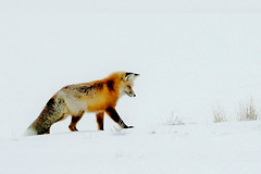 Red Fox Searching For Food In the Snow (Susan Roehl) Tags: yellowstoneinwinter2017 wyoming usa yellowstonenationalpark redfox vulpesvulpes iucnleastconcern animal mammal carnivore largestofthetruefoxes usuallytravelinpairs smallgroups feedsprimarilyonsmallrodents sueroehl photographictours naturalexposures lumixdmcgh4 100400mmlens takenfromroad handheld undersnowyconditions cropped snow ngc coth5 npc