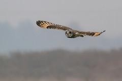 Short-eared Owl in flight 12 (John A Harvey) Tags: birds burwellfen cambridgeshire england uk