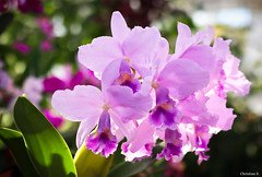 cattleya orchid (Christine_S.) Tags: flower flowers canon nature japan orchid m5 eos m32mmf14stm purple lilac bokeh bright sunlight coth coth5 mirrorless