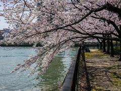 Osaka - Kema Sakuranomiya Park (Noti NaBox) Tags: hanami cherryblossom cherry blossom tree arbre cerisier fleur osaka kema sakura sakuranomiya park parc g80 g85 lumix