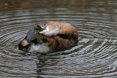 Contortionist II (dennis_plank_nature_photography) Tags: avianphotography piedbilledgrebe ridgefieldnwr birdphotography naturephotography ridgefield wa avian birds home nature
